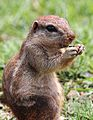 Cape ground squirrel, Xerus inauris, at Krugersdorp Game Reserve, Gauteng, South Africa (30570843153).jpg
