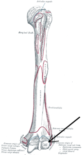 Capitulum of the humerus Structure of humerus