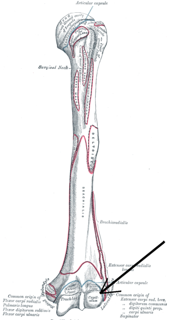 Capitulum of the humerus - Left humerus seen from front (capitulum visible at bottom right)
