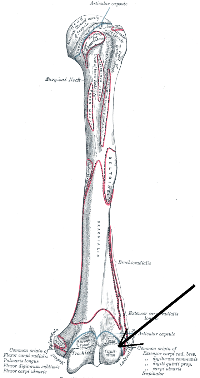 Capitulum of the humerus - Wikiwand