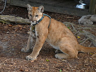 Florida panther - A collared juvenile
