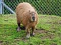 Capybara at SF Zoo Front Look.jpg