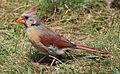 Cardinalis cardinalis -Massachusetts, USA -female-8.jpg
