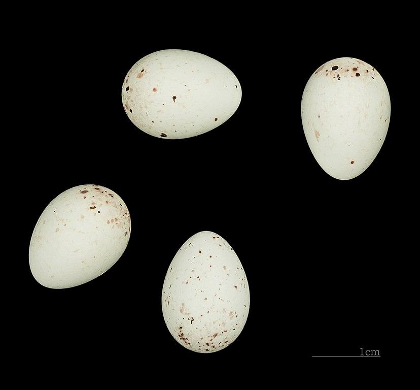 Stehlík čížavý (čížik) - vajíčka