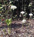 Cardwell Lilies.JPG