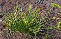 CarexViridula1.jpg