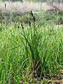 Carex acutiformis Kiev2.JPG