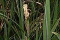 Carex acutiformis inflorescens (39).jpg