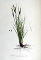 Carex caespitosa — Flora Batava — Volume v6.jpg