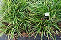 Carex pendula - Botanischer Garten - Heidelberg, Germany - DSC00875.jpg