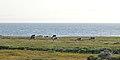 Caribou (Rangifer tarandus) - Port au Choix, Newfoundland 2019-08-19 (29).jpg
