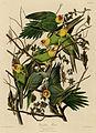 Carolina Parrot (Audubon).jpg