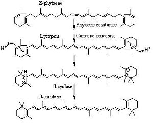 Phaseic acid - phytoene is isomerized and cyclized to produce β carotene