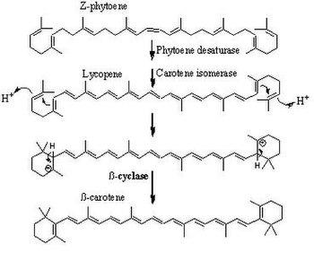 English: beta carotene synthesis