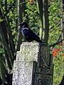 Carrion crow Corvus corone, Tottenham Cemetery, Haringey, London, England 2.jpg
