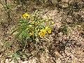 Cassia auriculata-2-mundanthurai-tirunelveli-India.jpg