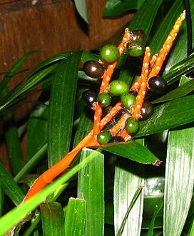 Cat palm fruit img 2192 s.jpg