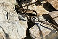 Catalonian Wall Lizard (Podarcis liolepis) juvenile peering out of its hole ... (45488109521).jpg