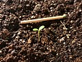 Catharanthus roseus sprout.jpg