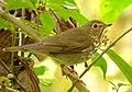 Catharus ustulatus (Zorzalito migratorio) - Flickr - Alejandro Bayer (1).jpg