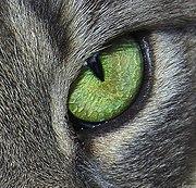 Kissan Aivot
