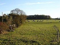 Cattle grazing near Holly House Farm - geograph.org.uk - 81584.jpg