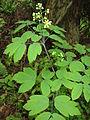 Caulophyllum robustum 7.JPG