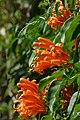 Cayena - Lluvia de oro - Jazmín de fuego - Siete de bastos (Pyrostegia venusta) (14395153769).jpg