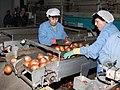 Cebollas en Minaya - 6791561448 (cropped).jpg