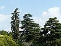 Cedres del Palau de Pedralbes P1260915.jpg