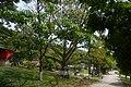 Ceiba (Ceiba pentandra) - Flickr - Alejandro Bayer.jpg