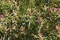 Centaurea calcitrapa 01 03.jpg