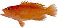 Cephalopholis cruentata - pone.0010676.g047.png