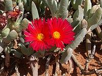 Cephalophyllum alstonii PICT2736