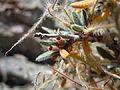 Cercocarpus ledifolius (5063228822).jpg