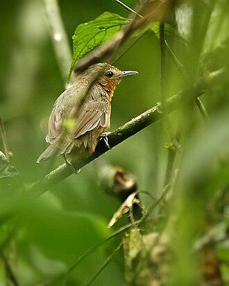 Dusky antbird - female in NW Ecuador