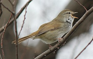 Old World warbler - Uguisu (鶯), the Japanese bush warbler (Horornis diphone). See also uguisubari.
