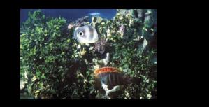 Foureye butterflyfish - Image: Chaetodon capistratus