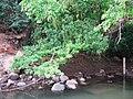 Chalakudy River @ Ezhattumukam - panoramio (2).jpg