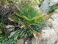 Chamaerops humilis 001.JPG