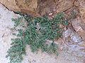 Chamaesyce canescens Habito 2010-8-29 SierraMadrona.jpg