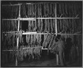 Charles County, Maryland. Tobacco being dried in one of the Hughesville warehouses. - NARA - 521559.tif
