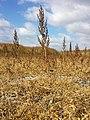 Chenopodium chenopodioides sl34.jpg