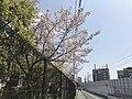 Cherry blossoms in Fukuoka, Fukuoka 20190408.jpg