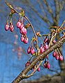 Cherry tree with flower buds.jpg