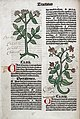 Chervil and cardamom plants, 1491 Wellcome L0029952.jpg