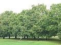 Chestnut pickers in Greenwich Park - geograph.org.uk - 2104710.jpg