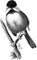 Chickadee-Birdcraft-0115-10.png