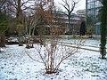 Chimonanthus praecox 001.JPG