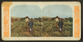 Chinamen harvesting rice, Hawaii, from Robert N. Dennis collection of stereoscopic views.png